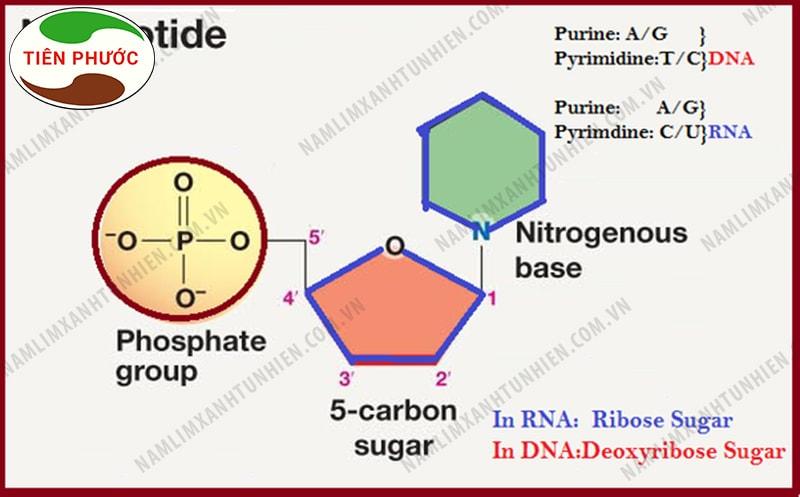 Cấu trúc của Nucleotide